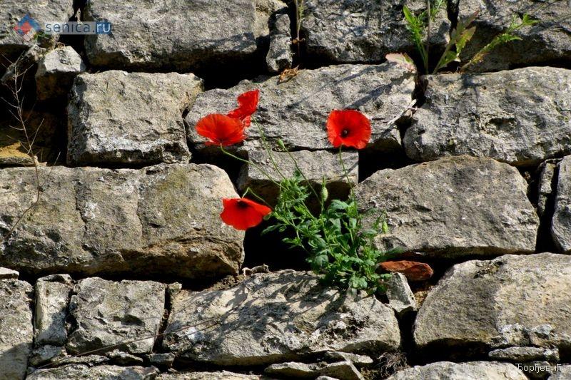 Цветы мака на Калемегдане