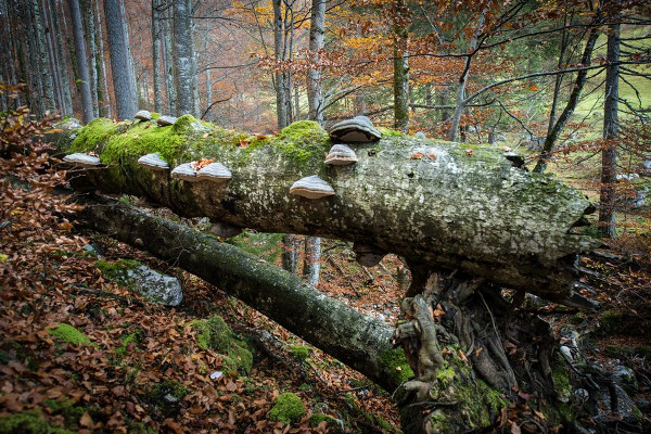 «Making an Ancient Forest - Kalkalpen National Park»